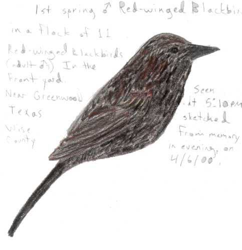 red winged blackbird coloring pages - photo#17